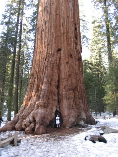 View of a giant Sequoia and visitors