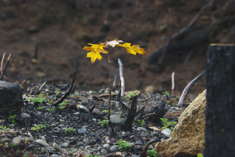 Image of a tiny oak tree with brown leaves lit up by the sun