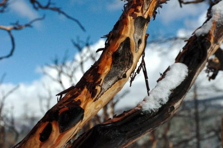 Image of a burned Manzanita branch in the morning sun