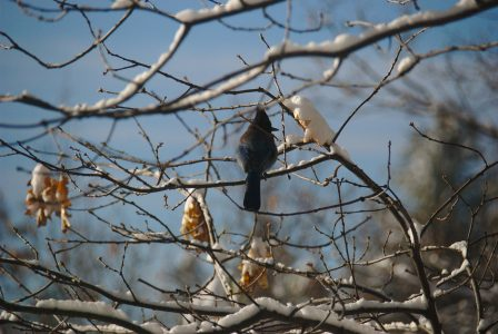 Image of a Stellar's Jay resting on a snowy oak tree branch